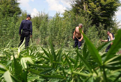 albania cannabis eradication