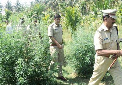 india-cannabis-odisha