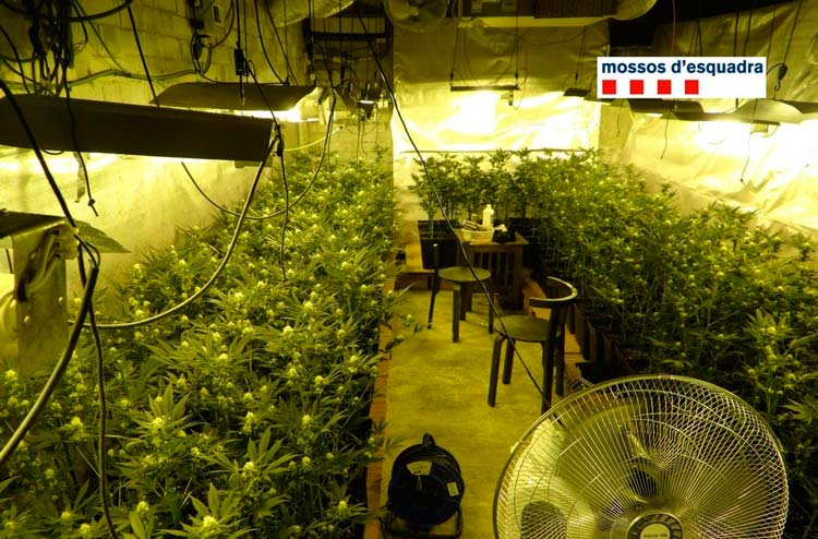 spain cannabis cultivation mossos